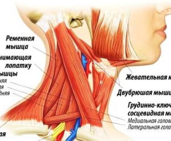 Болят мышцы шеи - Часто на шее сбоку
